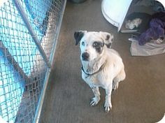 We lost him Johnson City, TN - Catahoula Leopard Dog Mix. Meet White Dog a Dog for Adoption.