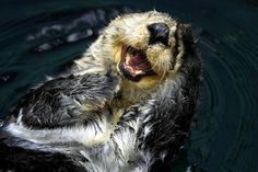 """""""BAHAHAHAH Justin Bieber and Prostitutes BAHAHAHAH""""   The 21 Happiest Otters Ever Are Here To Brighten Your Day"""