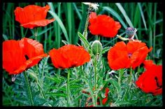 Growing and Propagating Oriental Poppies | DoItYourself.com