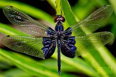 Lesser Blue Wing by giovzaid85, via Flickr