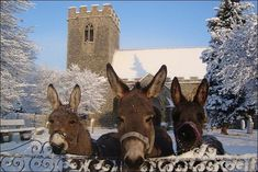 Happy Sunday from these beautiful Donkeys and I ~ Ariane These Donkeys are kept at Burrow Church in Suffolk, UK. http://news.bbc.co.uk/local/suffolk/hi/people_and_places/nature/newsid_8422000/8422055.stm