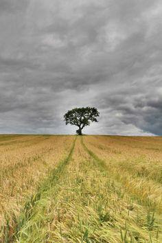 The Barley Field  Tree