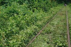 The Bamboo Train // Battambang Cambodia Battambang Cambodia, Railroad Tracks, Countryside, Bamboo, Environment, Train, Strollers, Train Tracks