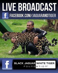 We are broadcasting now on Facebook Live in case you want to tune in... Estamos transmitiendo en vivo ahorita por Facebook Live por si nos quieren ver :) #blackjaguarwhitetiger