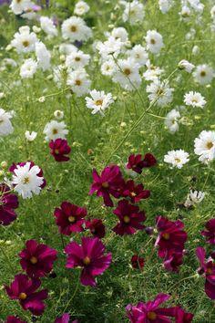 rosenskära Flower Beds, Perennials, Garden, Flowers, Plants, Garten, Lawn And Garden, Raised Beds, Flora