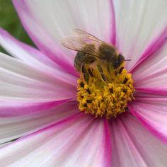 humla vasser i godsaker!#cosmos #cosmosbipinnatus #candystripe #pyntekorg #høstfavoritt #hageliv #hageglede #humlemat #summendehager #busybee #beesfavorite #gardenlife Cosmos, Animals, Animales, Animaux, Animal, Animais, Space, Outer Space