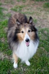 Talon is an adoptable Shetland Sheepdog Sheltie Dog in Dallas, TX. Talon is a 5 year old sable and white sheltie boy. He is crate trained and house trained. He has recently learned how to use the dogg...