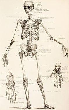 The Human Skeleton Print By English School - art for Halloween