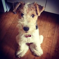 Wire Fox Terrier Dog Breed Information - American Kennel Club Wire Haired Terrier, Wire Fox Terrier, Fox Terriers, Akc Breeds, Terrier Dog Breeds, Animals And Pets, Funny Animals, Cute Animals, Wirehaired Fox Terrier