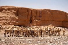 Camels in the desert in Sanaag region, Somaliland, Somalia
