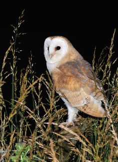 """Barn Owl ( Tyto alba ) by Kevin  Keatley; """"Young male Barn Owl on fence post. Now venturing out of the barn for longer periods and flight getting stronger."""""""