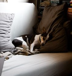 My other dog is a Rattie, Rat Terrier.  His name is a Borat. :) This is a different RT I found when Searching the web.