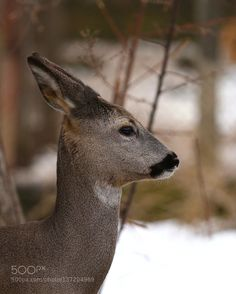 Roe deer portrait 2 by mariomelletti via http://ift.tt/1VgaLsL