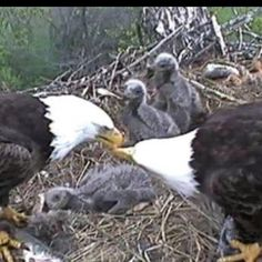 Decorah Eagles - I watched the eagles in Spring 2011. If you haven't seen them, check them out on utube, one of the neatest things I've seen, watching their daily life.