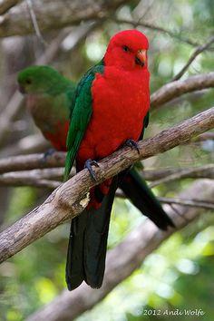 King parrots (male in front, female behind), New South Wales, Australia Kinds Of Birds, All Birds, Love Birds, Exotic Birds, Colorful Birds, Pretty Birds, Beautiful Birds, Bird Barn, Barn Owls