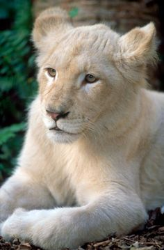 Pour 140 000 $, il serait possible d'adopter un lionceau blanc. Pour 2000 $ de moins, vous pourriez avoir un tigre blanc. On vous suggère de vérifier les lois en vigueur dans votre pays avant de sortir le chéquier...