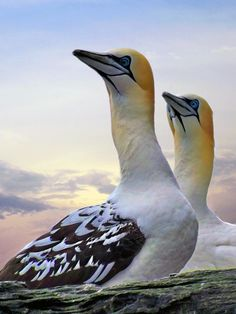 Two Gannets: A pair of Gannets nesting on the Island of Noss which is one on the many islands that makes up Shetland. * Lynn Bolt entered in 'Animals #53'. Do some rating @photocrowd