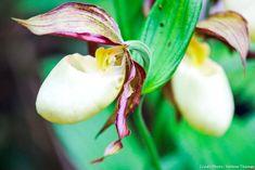 Comment planter les orchidées terrestres dans le jardin : découvrez l'orchidée blanche. #orchidée #orchidee #orchid #plantation #jardin Comment Planter, Plantation, Fruit, Plants, Decoration, Gardens, Orchid Care, Perennial Plant, Shrub