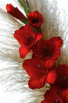 Glorious red! Love these flowers for Christmas Gladiolas were my Grandmother's favorite!