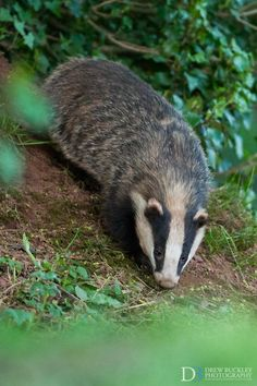 Photograph Female Badger by Drew Buckley on Tame Animals, Wild Animals, Honey Badger, Interesting Animals, Wild Creatures, Animal 2, Forest Friends, Wild Dogs, Cute Funny Animals