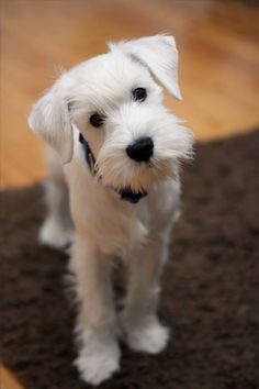 One of my teammates in volleyball has a dog that looks like this & I wish I knew the breed because he is so well behaved