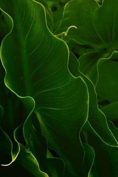 verde---➽viridi➽πράσινος➽green ➽verde➽grün➽綠➽أخضر ➽зеленый Elephant Ear Plant, Elephant Ears, Go Green, Green Colors, Lush Green, Green Leaves, Plant Leaves, Nature Verte, World Of Color