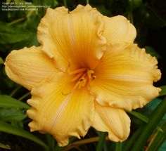 Daylily 'Golden Scroll'  large melon-gold flowers, very ruffled round form.