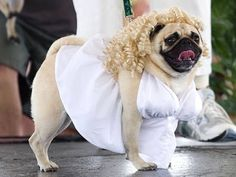 Wedding pug! http://runt-of-the-web.com/wordpress/wp-content/uploads/2012/10/halloween-pugs-marilyn.jpg