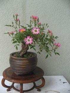 画像表示 - 山野草と盆栽 - やまんなか - Yahoo!ブログ