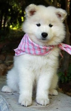 Samoyed puppy, so sweet! sooo wanna get one :) by HOLLACHE