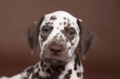 Brown-spotted Dalmatian Puppy Portrait by Debra Bardowicks