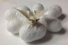 silkworm Bombyx mori - Bing Images