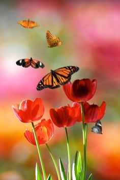 tulips and monarch butterflies