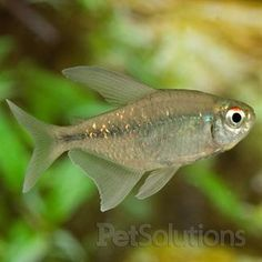 Moenkhausia pittieri, or Diamond Tetra, is a peaceful South American native which will work well in a community aquarium. Tropical Freshwater Fish, Freshwater Aquarium Fish, Tropical Aquarium, Tropical Fish, Dwarf Frogs, Tetra Fish, Cool Fish, Beautiful Fish, Exotic Fish