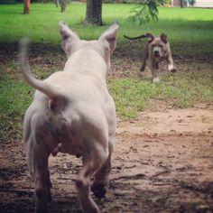 The mother vs Son Pitbull  terrier showdown.   #gotti #mugglestons #pit-bull