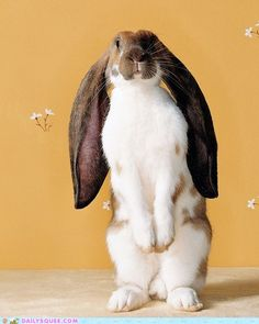 Gorgeous English Lop!! LOOK AT DEM EARS!