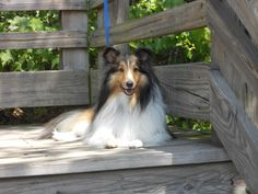 Wrigley from Sheltie Lovers