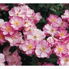 Bunndekkende rose