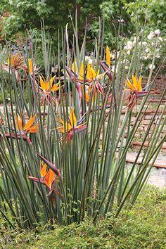 Strelitzia juncea Dutch Gardens, Farm Gardens, Outdoor Gardens, Sky Garden, Garden Plants, Plante Carnivore, Water Wise, Landscaping Plants, Tropical Plants