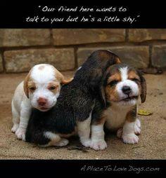 Puppies beagle