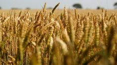 Zim wheat output projected at 200 000t - http://zimbabwe-consolidated-news.com/2017/01/16/zim-wheat-output-projected-at-200-000t/