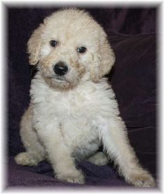 Harry the Labradoodle at almost 5-weeks old.