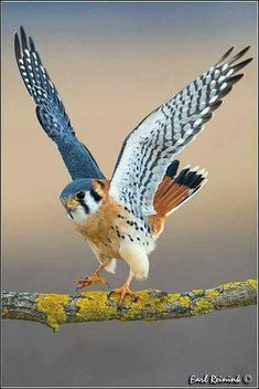 American kestrel (Falco sparverius) Photographer unknown
