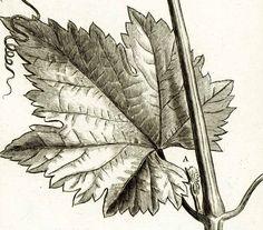 1797 Gravure Originale Raisin Feuille de Vigne Planche Ancienne Eléments Botanique Tournefort decor affiche cuisine de la boutique sofrenchvintage sur Etsy
