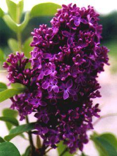 Lilac 'Monge' Syringa vulgaris