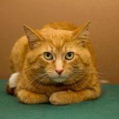 Paxton: Domestic Short Hair-Orange, Cat; Neenah, WI