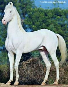 During the British administration, the great glory of the centuries-old Marwari faded almost to nothing and the breed became imperiled. Kathiyawadi Horse, Horse Bridle, Horse Love, Horse Art, Beautiful Horse Pictures, Beautiful Horses, Animals Beautiful, Farm Animals, Animals And Pets