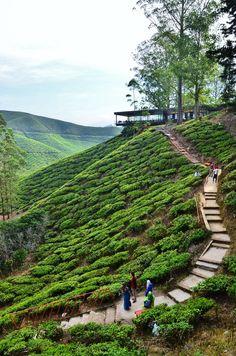 Boh Tea Plantation - Cameron Highlands, Malaysia by Amy Lim