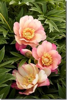 Julia Rose Itoh Peony - Paeonia (Itoh) 'Julia Rose' - USDA Zone 4 – 8 - looks delicate but the four- to six-inch blooms have a soft, spicy scent. This variety also sports deeply toothed emerald green leaves, that are a wonderful accent to the beautiful peach color of the bloom.