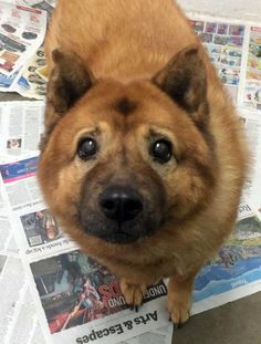 Adult chow chow mix needs a home